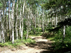Birch Forest in Colorado